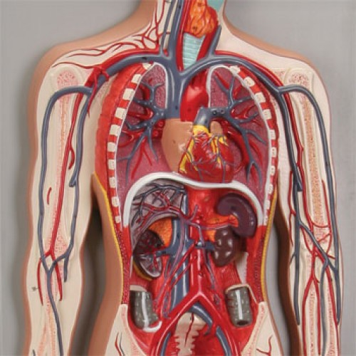 a description of the circulatory system Circulatory system assignment  description of the circulatory system  another circulatory diseasestroke involves blockage of the blood vessels to the brain.